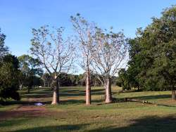Boab trees at Alawa Darwin