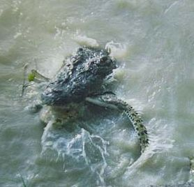 crocodile eating smaller crocodile