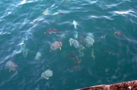 Fish waiting for scraps at Darwin wharf