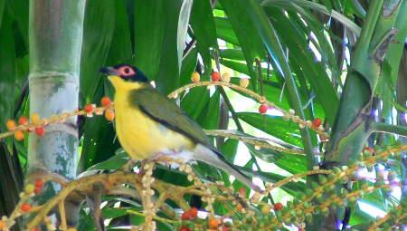 Figbird in Palm tree