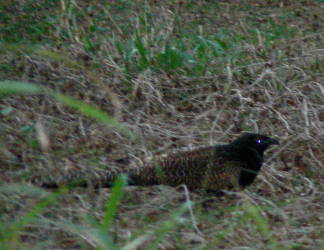 A pheasant coucal skurries through the undergrowth