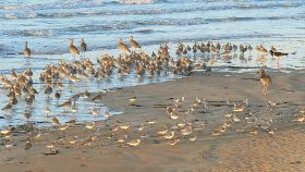Four species of birds at Casuarina Beach