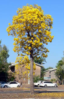 yellow blossoms light up Darwin in September
