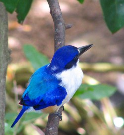 Blue Kingfisher