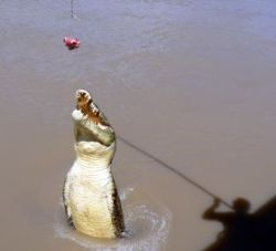 crocodile jumping for bait