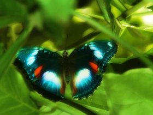 Butterfly Farm butterfly