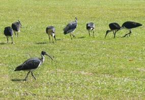 Flock of Feeding Ibis