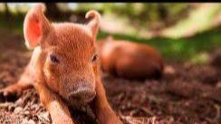 TFF The Biggest Little Farm Pig