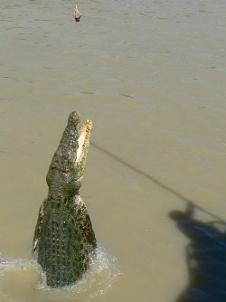 Another croc jumps for a snack