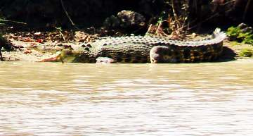 Basking crocodile on bank of the Adelaide River