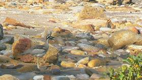 A well camouflaged beach stone-curlew