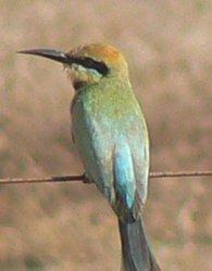 Rainbow Beecatcher