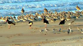 Wading birds on Casuarina Beach