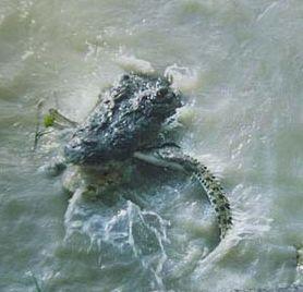 Croc eats croc