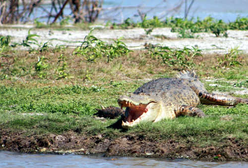 Crocodile basking in the sun