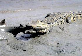 crocodile eats shark