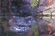 A crocodile watches through the aquarium glass.