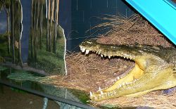 A crocodile on display