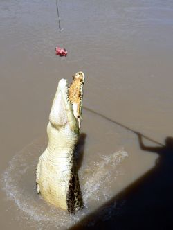 A croc launches itself up from the river