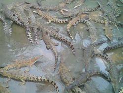 Crocodiles, crocodiles, & more crocodiles