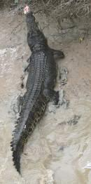 crocodile takes a bait