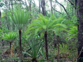 Cycads along the walking track.