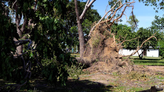 cyclone marcus uprooted tree