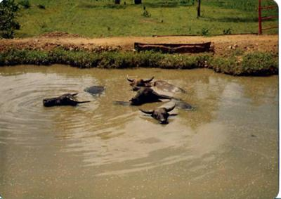 Buffalo were a common sight