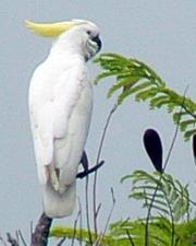 cockatoo in Darwin Garden