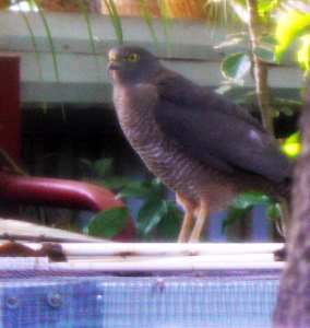 Brown Goshawk.