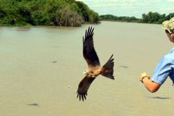 Feeding kites from the cruise boat on the Adelaide River