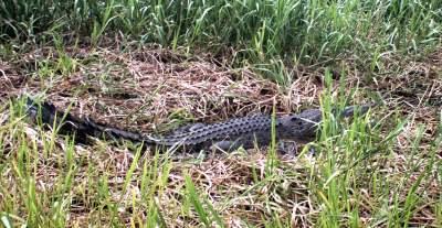 female crocodile guarding nest