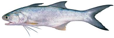 Threadfin Salmon