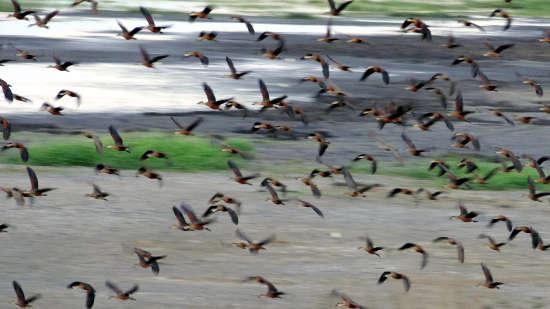 Flock of birds at Fogg Dam