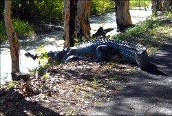 Fogg dam crocodile