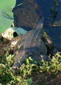Crocodile on the causeway bank