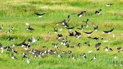 Flocks of water birds at Fogg Dam