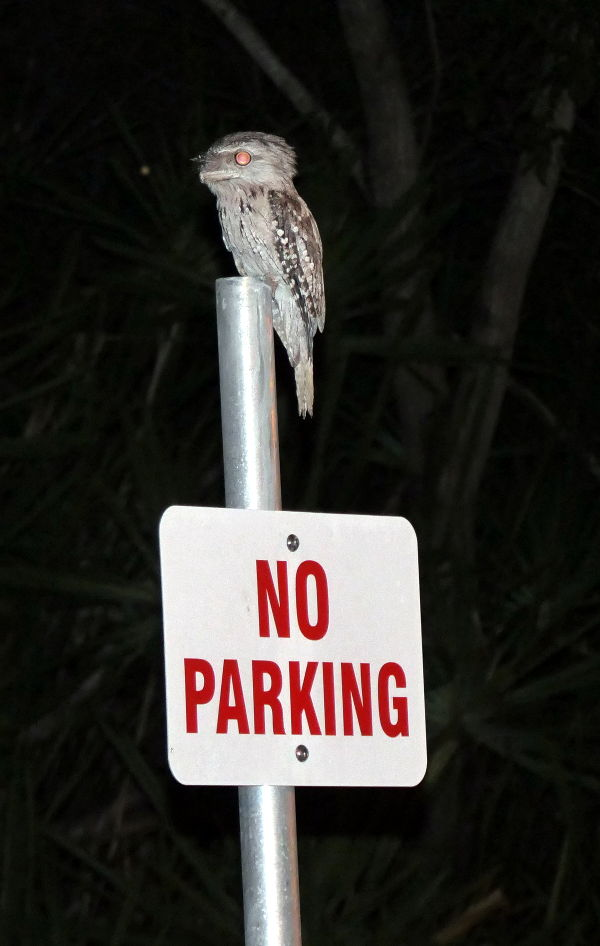 Tawney Frogmouth on No Parking Sign