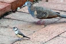 Dove and Double-barred Finch