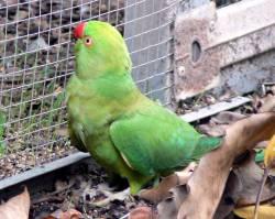 bronze collared dove