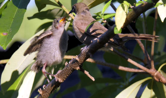 honeyeater and chick