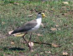 lapwing plover