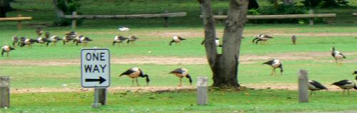 Magpie geese at the Mindil Beach car park.