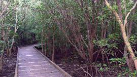 A raised walkway takes you to a different world of mangroves and mud.