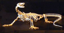 Monitor Lizard skeleton