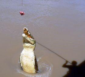 crocodile jumping for bait