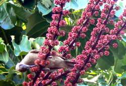nectar bird