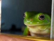 Noonamah frog