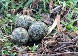 Three Masked Lapwing Plover eggs