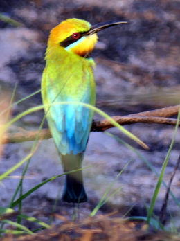 Rainbow Bee Eater back view